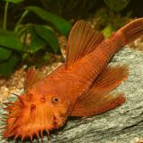 "ANCISTRUS DOLICHOPTERUS ""ROUGE"""