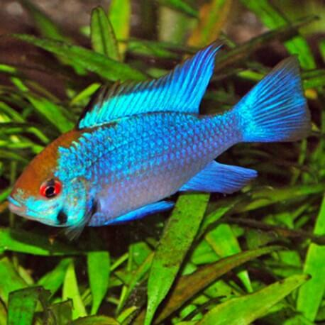 Microgeophagus Ramirezi Electric Blue Taille M