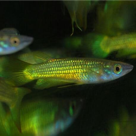 Aplocheilichthys NORMANI Taille XL