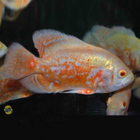 Astronotus ocellatus rouge Marbre Albinos