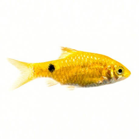 BARBUS CONCHONIUS GOLD