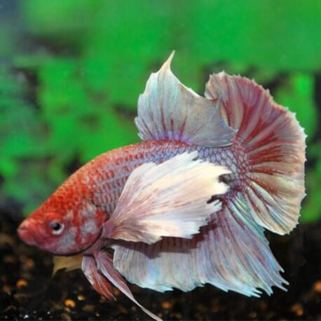 BETTA DUMBO EAR MAN