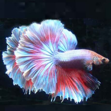 BETTA MALE DOUBLE TAIL
