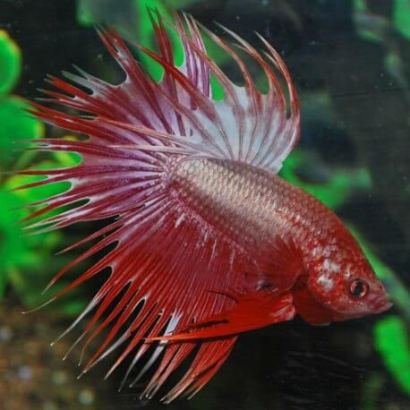 BETTA SPLEDENS DRAGON CROWNTAIL