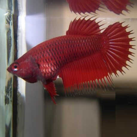 BETTA SPLENDENS CROWNTAIL FEMELLE