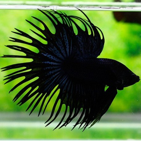 BETTA SPLENDENS CROWNTAIL NOIR Taille L