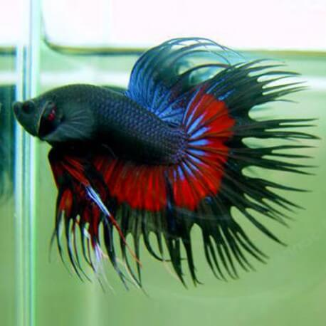 BETTA SPLENDENS CROWNTAIL MALE Taille XL