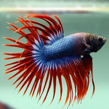 BETTA SPLENDENS CROWNTAIL THAI FLAG