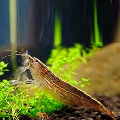 Atyia spinipes 4cm