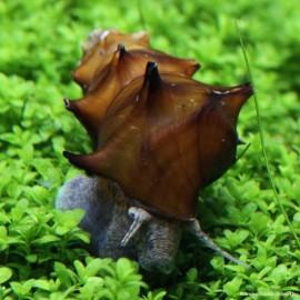 Brotia pagodula 3-4cm