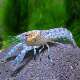 Cambarellus patzcuarensis blue