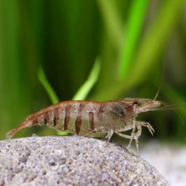 Caridina babaulti stripes