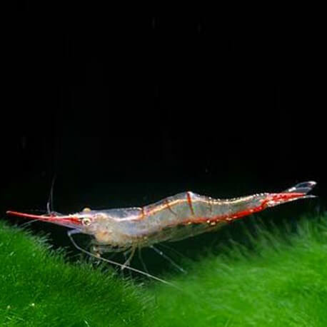 Caridina RED NOSE