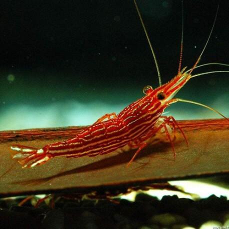 Caridina sp. red line