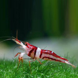 Caridina spongicola