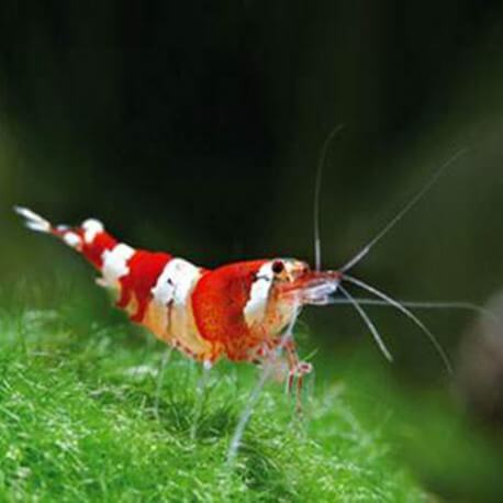 Caridina RED CRYSTAL