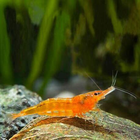Caridina propinqua orange