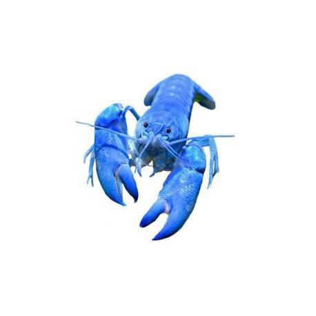 Cherax sp blue pearl
