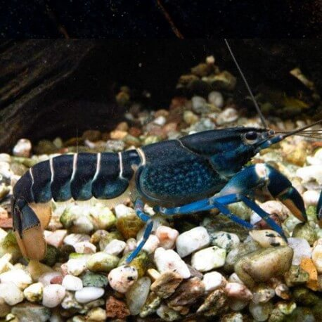 Cherax sp papua blue moon
