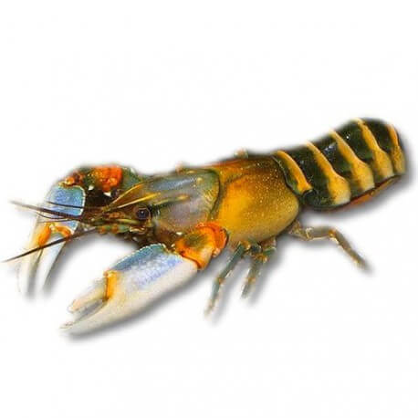 Cherax sp papua irian bright yellow