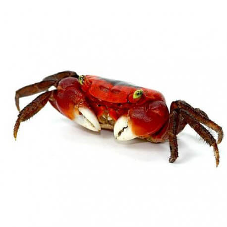 Crabe sp red apple