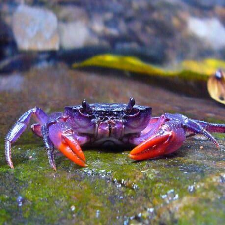 Dromis sp. / Spider Crabe