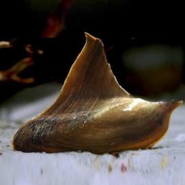 Hyriopsis bialata / Batman Clam