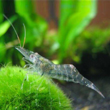 Macrobrachium glass shrimp