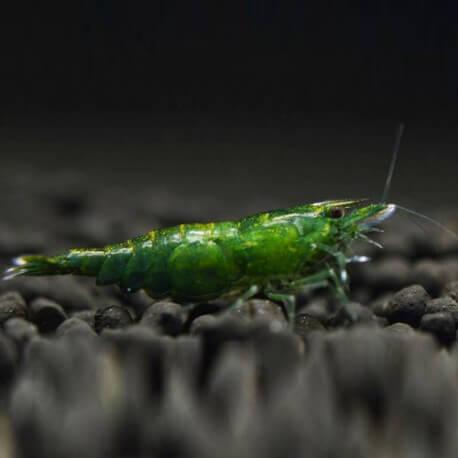 neocaridina-davidi-green