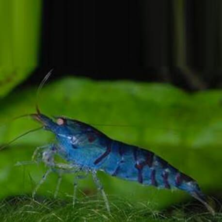 neocaridina-deniculata-blue-pearl