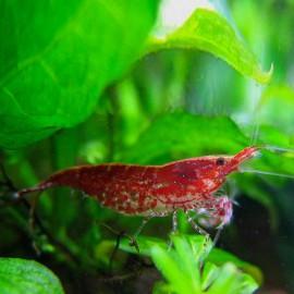 Neocaridina denticulata / Red cherry 1-1,5cm