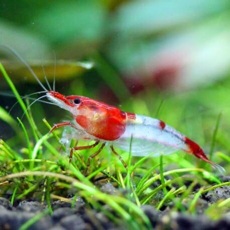 Neocaridina heteropoda rilli shrimp 1-2cm