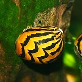 Neritina snail - paralella 2 cm