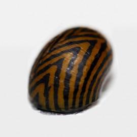 Neritina sp. tigre 2 cm