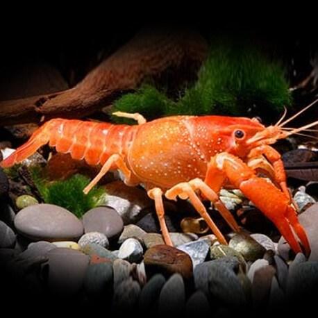 Malboro lobster 5-6 cm