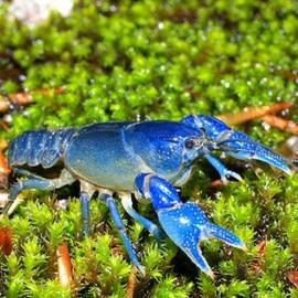 Procambarus troglodites blue 3,5 - 4 cm