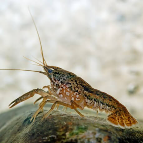 Procambarus fallax 4-5cm