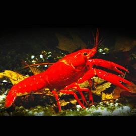 Procambarus clarkii red +6cm
