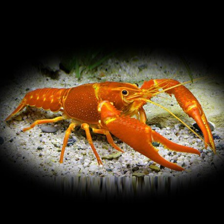 Procambarus clarkii orange +6cm