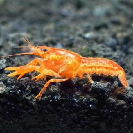 Procambarus sp. orange mini mexican