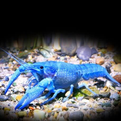 Procanbarus sp blue pearl