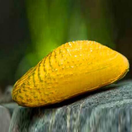 Scabies crispata 4-5 cm