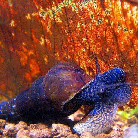 Tylomelania sp. blue