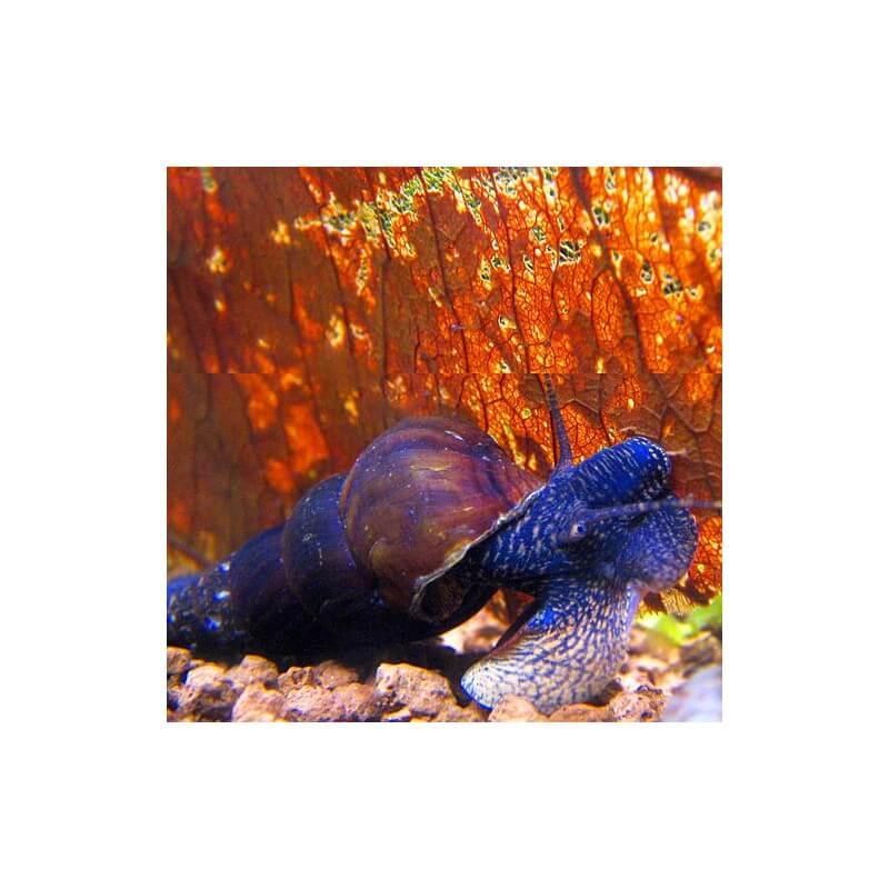 Картинки по запросу Tylomelania sp. blue