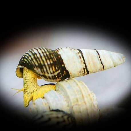 Tylomelania sp. sulawesi