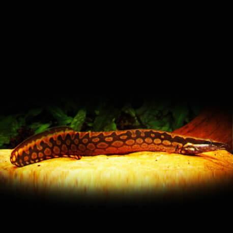 Mastacembelus armatus 13-14 cm