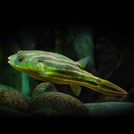 Tetraodon fahaka 2 - 2,5 cm