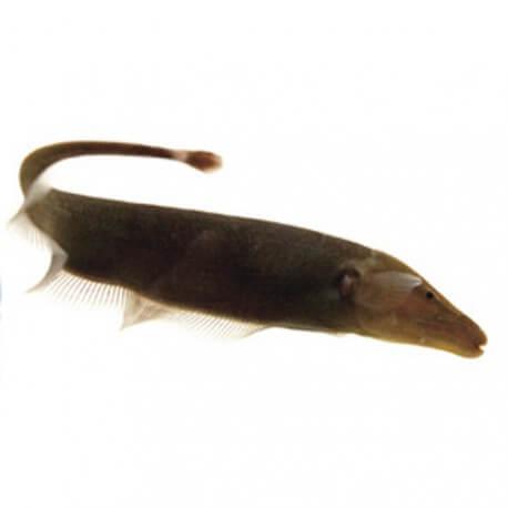 Apteronotus leptorhynchus 6cm