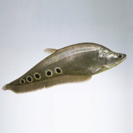 Notopterus chitala 10 cm