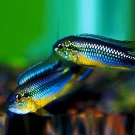 Apistogramma agas.rio tefe-blue 3 - 4 cm